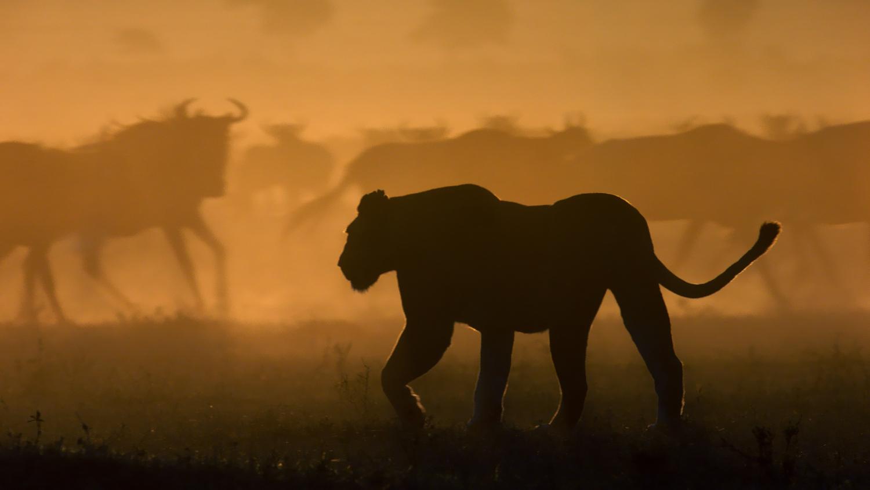 Hunting Lion Masai Mara