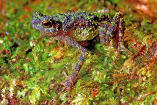 rainbow toad