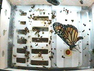 First Monarch Butterflies in Space Take Flight