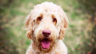 Goldendoodle: Close up of Goldendoodle looking at camera with tongue out