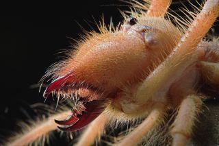 Galeodes arachnid close up.