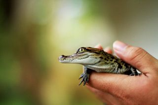 Baby Siamese crocodiles hatch in Laos.