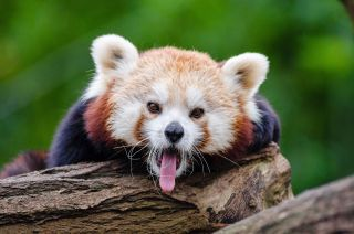 https://pixabay.com/photos/red-panda-yawns-curious-1194506/
