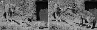 Yawning wolves