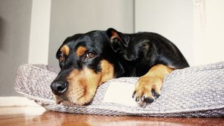 Big, black and tan dog lying in his best dog bed