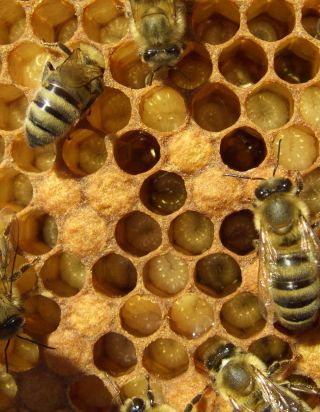bees, beehive