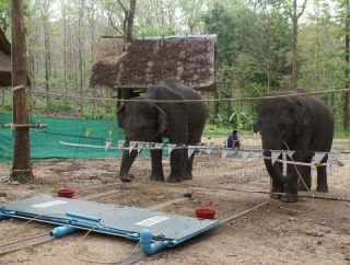 elephants cooperating