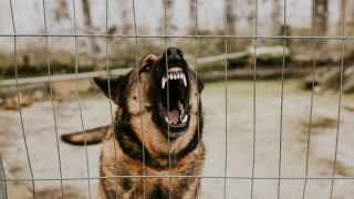 aggressive rescue dog