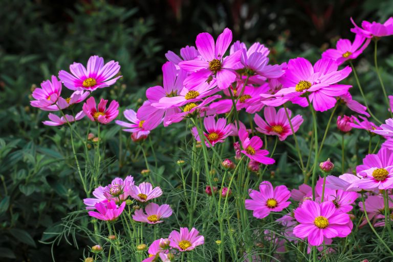 best plants for beginners: pink cosmos