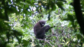 skywalker-gibbon-zsl