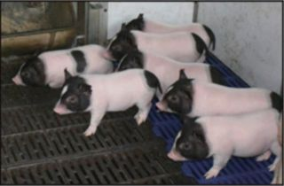 low fat piglet,