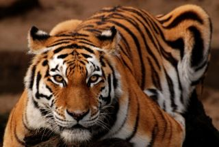 a Siberian, or amur tiger