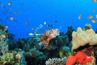 The Voracious and Invasive Lionfish Is Taking Over the Atlantic. Here's Why.   Live Science