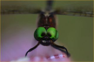 A Hine's emerald dragonfly.