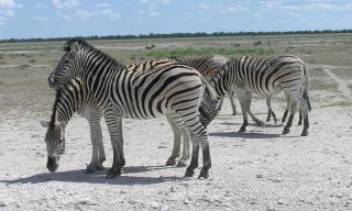 Burchell's zebras gather on the grasslands.