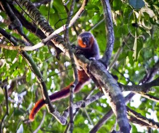 New species of monkey discovered in Amazon