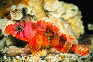 A new species of scorpionfish,<em>Scorpaenodes barrybrowni</em>, discovered in the deep reefs of the Caribbean. This scorpionfish is distinguished from its relatives by the elongated rays on its fins and by its starbursts of color.