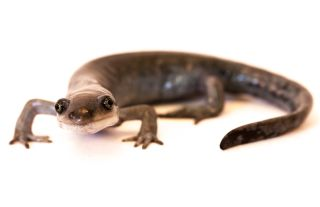 Female salamander in the Ambystoma genus.