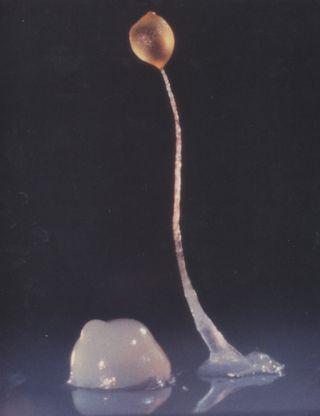 Dictyostelium discoideum, cellular communication
