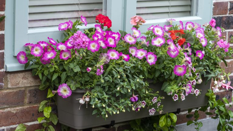 how to plant a window box - Colourful window box planted with trailing fuchsias 'Harry Gray' and 'La Campanella'; Geranium 'Bullseye Mixed; Calibrachoa 'Double Pink Tastic'; ivy-leaved Geranium 'Ivy Flair'; Petunia 'Single Rose F1.