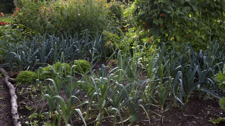 Onions growing in a vegetable patch with other crops