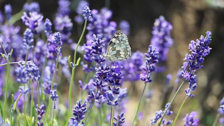 How to prune lavender - plant with butterfly