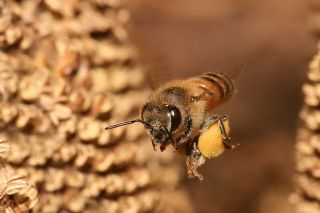 A honey bee carrying pollen back to its hive. Credit: Creative Commons | Muhammad Mahdi Karim