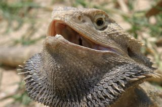 Bearded dragons have an impressive display when threatened.