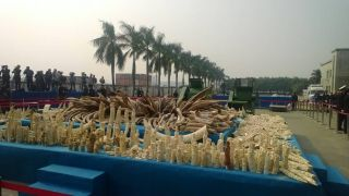 The 6 tons of illegally traded ivory destroyed in a ceremony in China on Jan. 6, 2014.