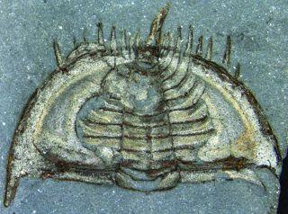 a trilobite fossil of mummaspis muralensis
