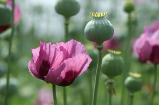 Massive Poppy Bust: Why Home-Grown Opium Is Rare | Live Science