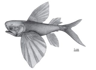 A drawing of what an ancient flying fish, <em>Potanichthys xingyiensis</em>, might have looked like more than 235 million years ago.
