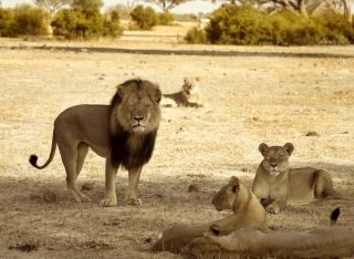Cecil the iconic lion and his pride in Hwange National Park in November 2012.