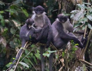 Rediscovered Miller's grizzled langur