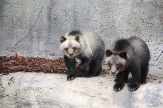 bear-cubs-110801-02