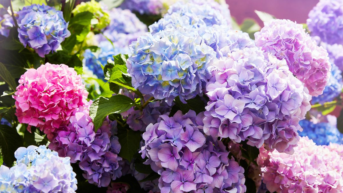 How to prune hydrangeas and when you should do it