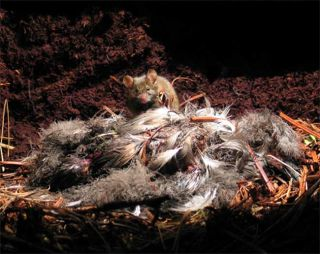 Mice Caught Eating Birds Alive | Live Science