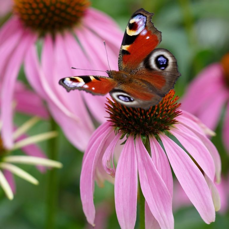 Echinacea best plant for health