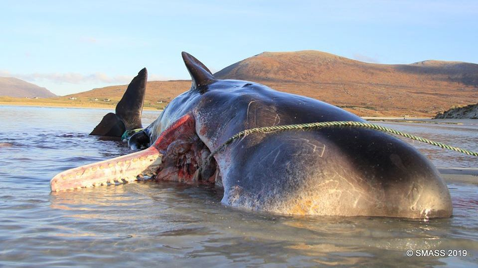 220-lb. 'Litter Ball' Found Inside a Dead Sperm Whale's Belly