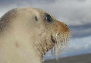noaa-endangered-seals-101206-02