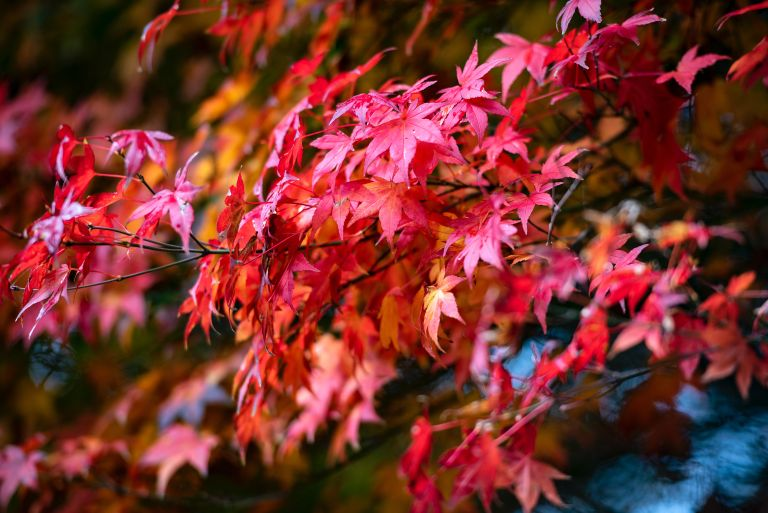 Japanese maple with red foliage