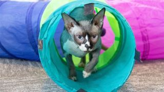 Thea the therapy cat emerging from a cat tunnel