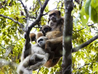 animals, monkey mating, muriqui monkey, peaceful monkey society, equal mating rights, dominance hierarchy monkey mating, matrilineal society, mother-run monkey society, mother-son bonding,