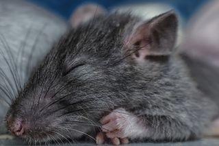 A lab rat, resting