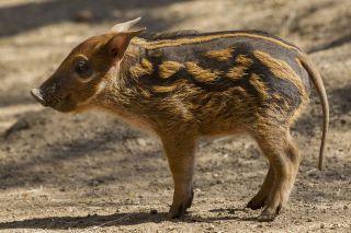 A 2-week-old red river hog piglet at the San Deigo Zoo.