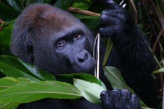 endangered species news, Congo gorillas