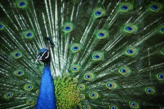 A peacock with feathers out