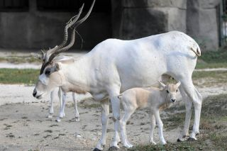 Addax Facts: Endangered Antelope Faces Extinction | Live Science