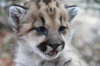 inbred cougar
