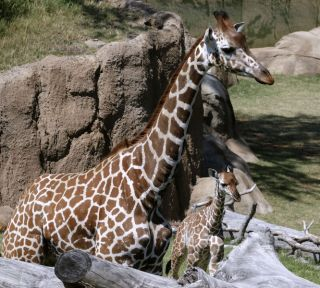 Giraffe Katie with calf Jamie